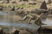 Macaque (Macaca fascicularis) jumping from rock to rock