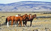 stock photo of pampa  - The herd of wild mustangs - JPG