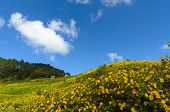 Mexican Sunflower Mountain