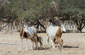 Sahara scimitar antelope Oryx (Oryx leucoryx)