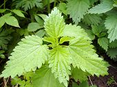 stock photo of nettle  - Fresh wild nettle  - JPG