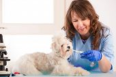 image of dog teeth  - Beautiful woman vet with toothpaste trying to clean tooth of maltese dog in the treatment room - JPG