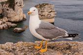 Seagull On A Cliff Near Bonifacio. Bonifacio, Old Town At Sea Cliff, Corsica, France