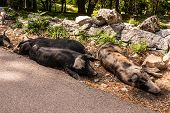 Wild Boars In Forest ,corsica In The France,europa