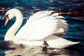 picture of black swan  - Swans on the lake with blue water background - JPG