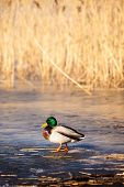 stock photo of male mallard  - Wild male Mallard duck over coots in winter time - JPG