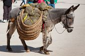 image of burro  - Donkey carrying a sunflower in chinchon near madrid - JPG