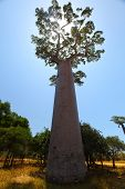 Baobab tree with green leaves on a dry land over blue sky background. Madagascar