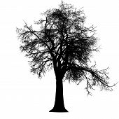 stock photo of ash-tree  - ash tree leafless branches detailed black silhouette - JPG