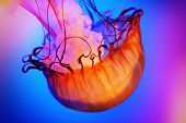 picture of jellyfish  - Colorful jellyfish slowly swimming at the aquarium - JPG