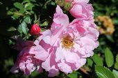 John Davis - double medium pink bloom