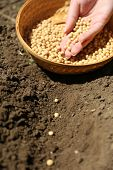 Sowing seeds into soil