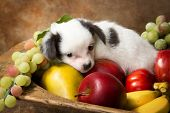 Adorable chihuahua puppy lying in a fruit bowl