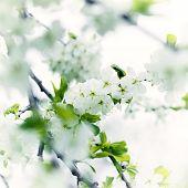 Spring background. White blossom flowers in spring garden