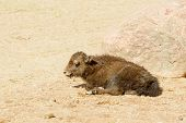 stock photo of yaks  - Yak Bos grunniens small baby animal resting in front of stone in sand - JPG