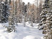 Snow Coniferous Wood In Dolomites, Italy