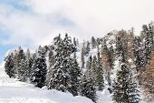 Coniferous Wood On Snow Slope In Dolomites