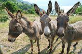 Three Donkey On Italian Farm