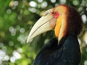 Sumba hornbill bird