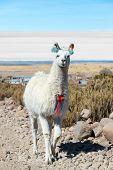 Llama With Uyuni Salt Flats