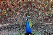 Green Peafowl Pavo Muticus