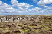 Penguin Colony In Their Nest In The Falkland Islands
