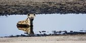 Hyena Relaxing in Cool Shallow Pond on Liuwa Plains, Zambia, Africa