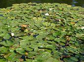 Water Hyacinths (2)