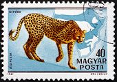 Postage Stamp Hungary 1981 Cheetah, Acinonyx Jubatus, Cat