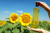 Hands holding bottle with oil on sunflower field background