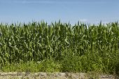 image of biogas  - The edge of a field of corn taken at bright sunlight and a blue sky - JPG