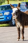 Wild Burros On The Road