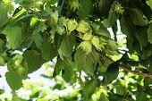 Branch With Hazelnuts