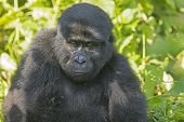 Young Mountain Gorilla In The Forest
