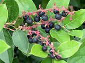 Salal Berries - Gaultheria Shallon