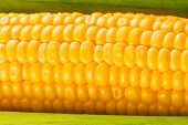 pic of corn cob close-up  - Young Ripe Sweet Corn on the Cob close up - JPG