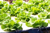 Hydroponics Green Vegetable