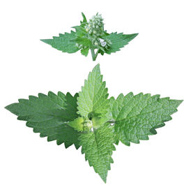 picture of catnip  - Cat mint leaves isolated on white background - JPG