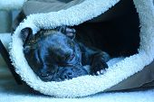 Brindle french bulldog lays in dog bed