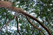 Branches, Leaf Of An Albizia Tree