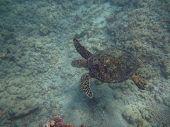 Hawaiian Sea Turtle Swims Above Coral Rocks The Waters Of Waikiki