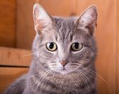picture of blue tabby  - Closeup of a blue tabby cat - JPG