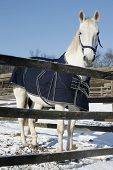 Warm Blood Purebred Horse Standing In Winter Corral Rural Scene