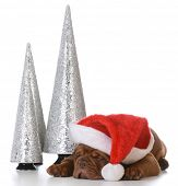 christmas puppy - dogue de bordeaux wearing santa hat on white background - 5 weeks old