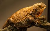 image of giant lizard  - A slightly overweight German Giant bearded dragon warms himself close to his warming lamp - JPG