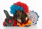 silly clowns - a bunny rabbit and a basset hound wearing clown costumes on white background