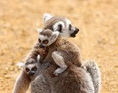 Baby Ring Tailed Lemurs