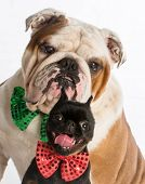 two dogs - brussels griffon and english bulldog wearing bowties on white background