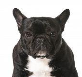 french bulldog portrait - one year old male