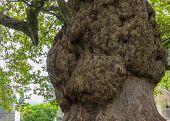 Burl On A Tree,freak Of Nature